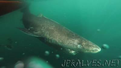 400-year-old Greenland shark 'longest-living vertebrate'