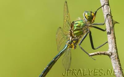 Dragonflies can predict the path of their prey