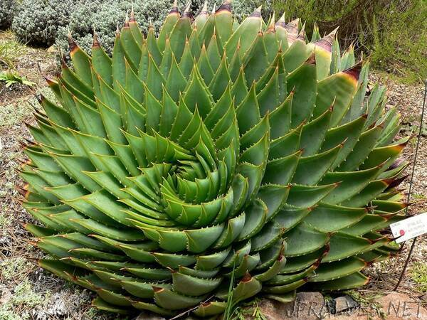 Decoding the Mathematical Secrets of Plants' Stunning Leaf Patterns
